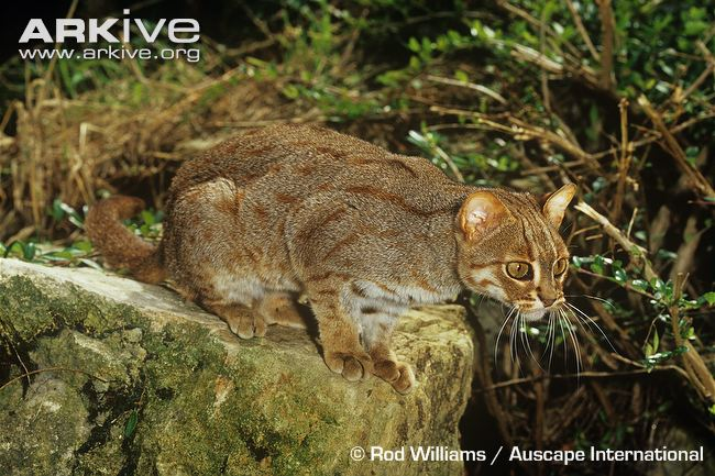 Rusty-spotted cat (Prionailurus rubiginosus) ssp. phillipsi (Sri Lanka)