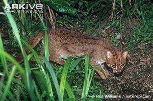 Rusty-spotted cat (Prionailurus rubiginosus)