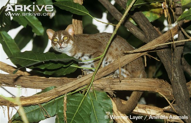 Rusty-spotted Cat (Prionailurus rubiginosus) climbing in tree