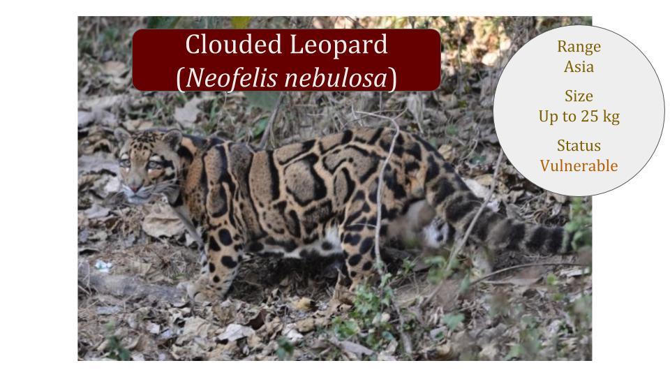 Clouded Leopard - Neofelis Genus