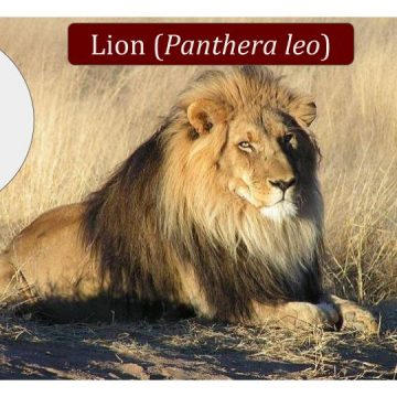 Lion Conservation, Legislation and Science News