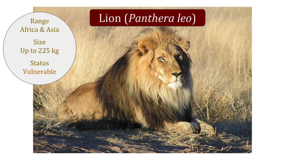 Lion (Panthera leo) Classification / African and Asian Lion TaxonomyWild Cat Family