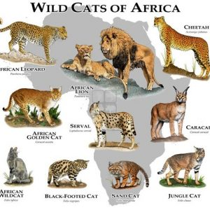Wild Cats of Africa Poster - Big Cats of Africa Poster