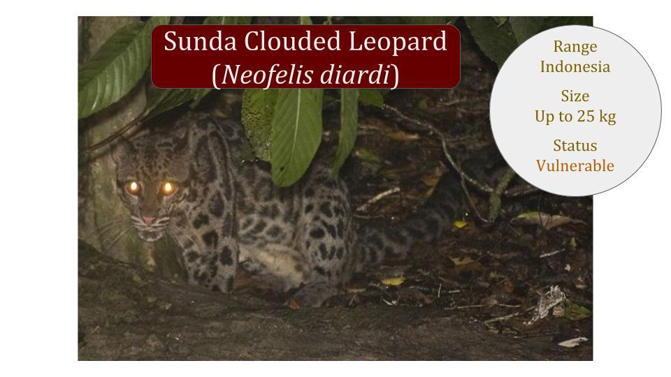 Sunda Clouded Leopard (Neofelis diardi) - Panthera lineage