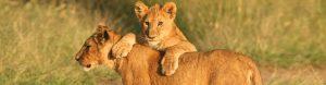 African Lion banner