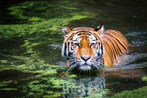 Tiger (Panthera tigris) swimming