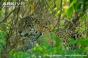 Female jaguar (Panthera onca) resting