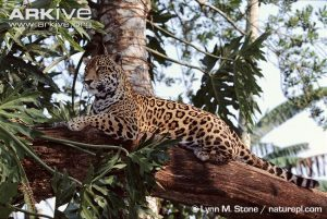 Jaguar (Panther onca) in tree