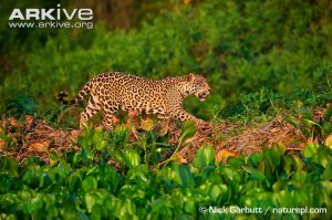 Male jaguar (Panthera onca) stalking