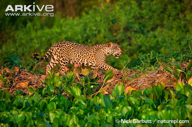 Male jaguar (Panthera onca) stalking