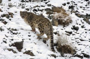 Adult male snow leopard (Panthera uncia) in habitat