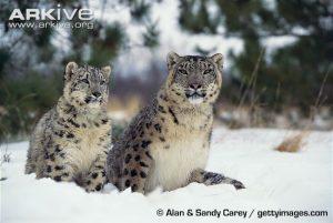 Snow leopard (Panthera uncia) female and juvenile