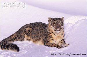 Snow leopard (Panthera uncia) lying in snow