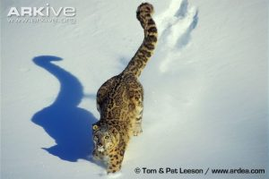 Snow leopard (Panthera uncia) walking through snow