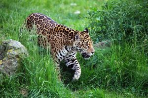 Jaguar (Panthera onca) walking