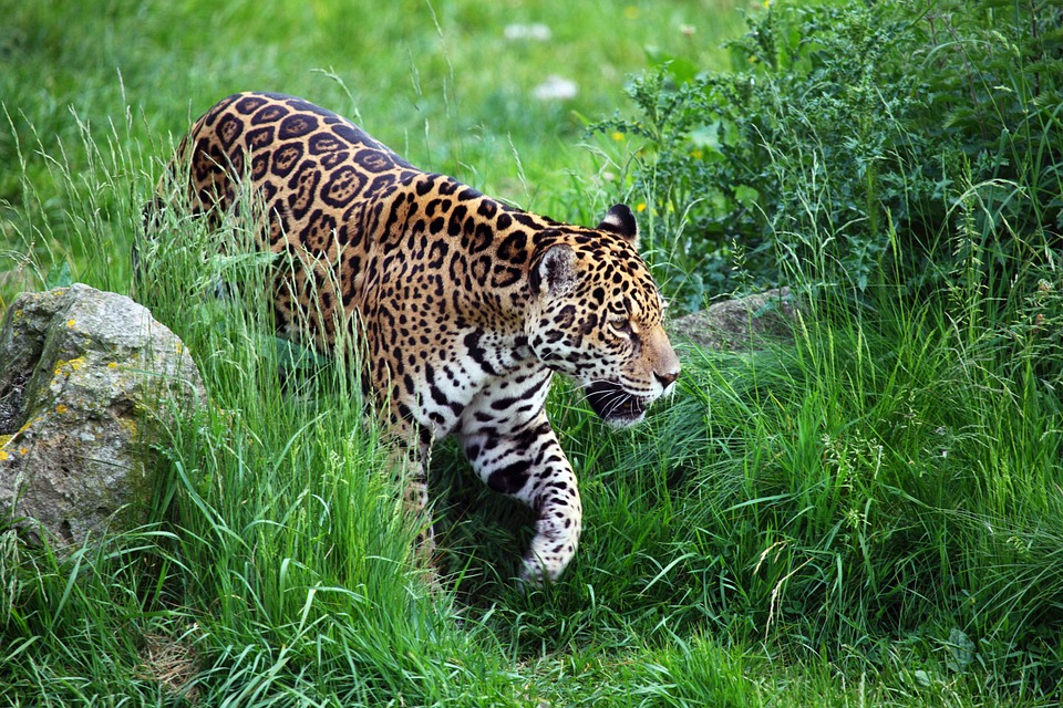 Tips to see Jaguars