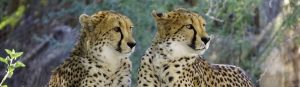 View Trips to Africa to see Cheetahs