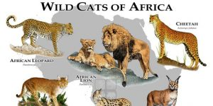 Cats of Africa Poster