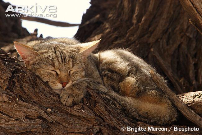 African Wildcat (Felis lybica cafra)