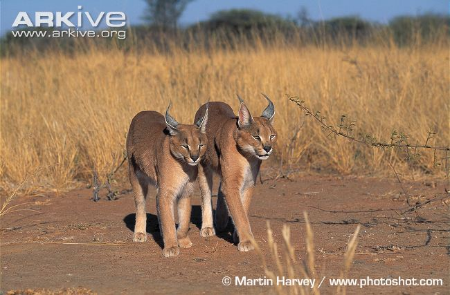 African Caracal Cat siblings walking by Martin Harvey