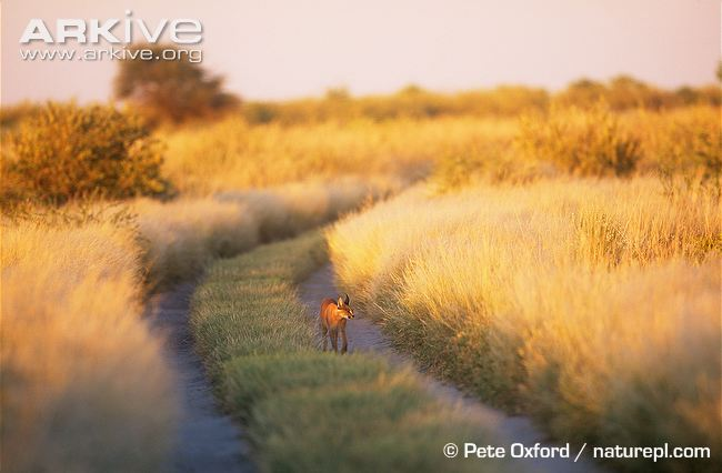 African Caracal Cat walking along path in savannah by Pete Oxford