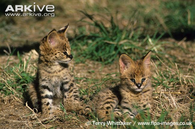 Eight week old Serval kittens by Terry Whittaker