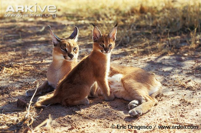 Female Caracal Cat with young by Eric Dragesco