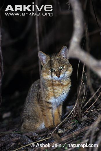 Juvenile Jungle Cat (Felis chaus) sitting