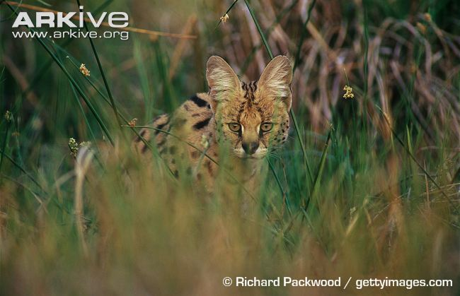 Serval stalking prey in long grass by Richard Packwood