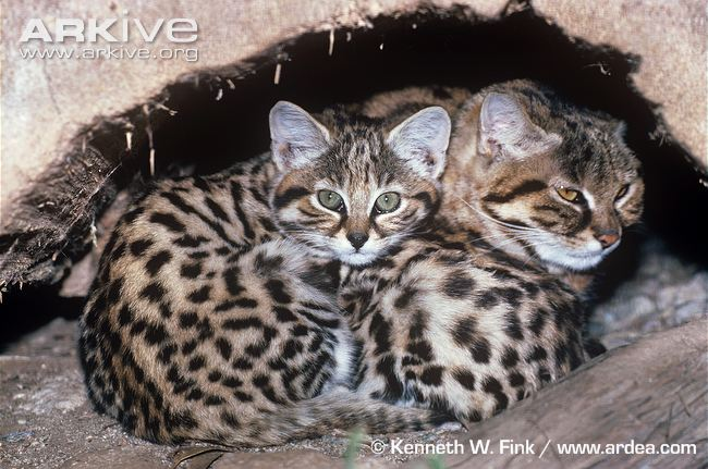 Black-footed Cat (Felis nigripes) with kittens by Kenneth W Fink