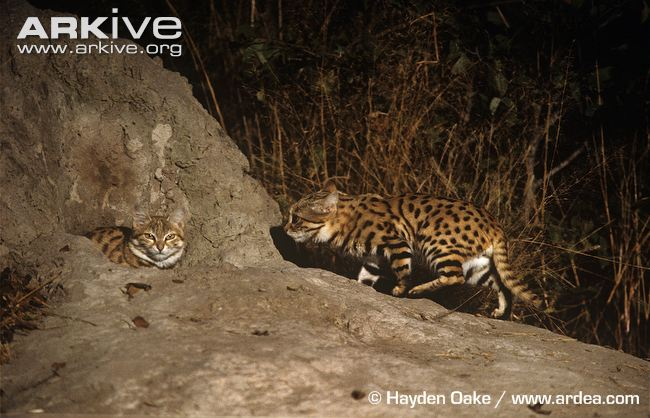 Black-footed Cats (Felis nigripes) at den by Hayden Oake