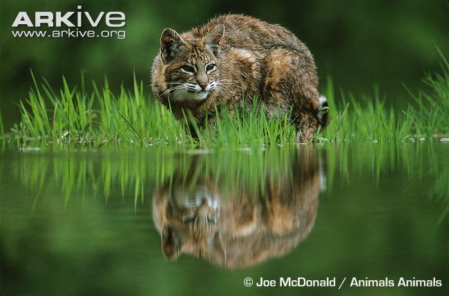 Bobcat hunting at water's edge by Joe McDonald