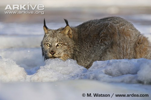 Canada-lynx-crouching-in-snow