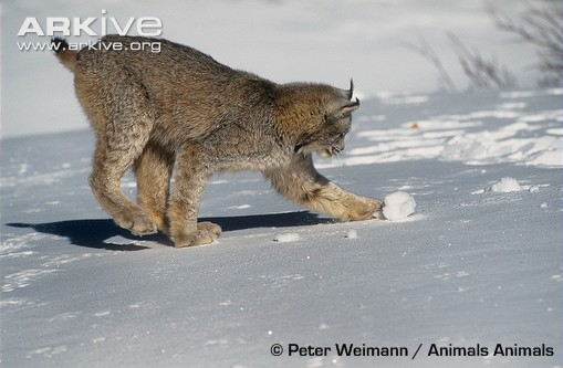 Canada lynx playing in snow by Peter Weimann