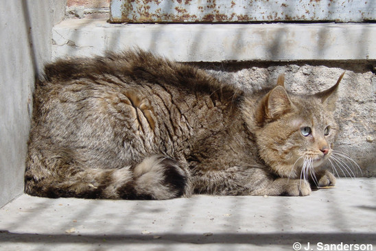Chinese Mountain or Steppe Cat (Felis bieti) © J. Sanderson