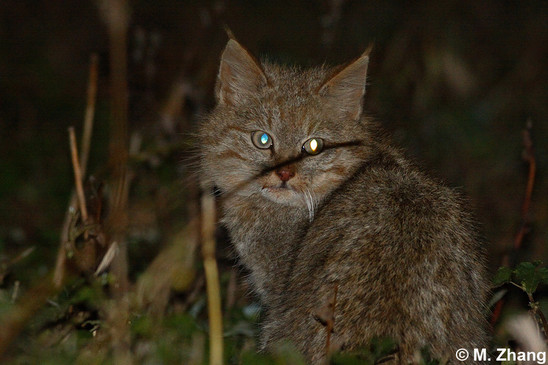 Chinese Mountain Cat (Felis bieti) © M. Zhang