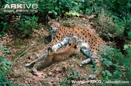 Eurasian lynx nursing young by Wegner