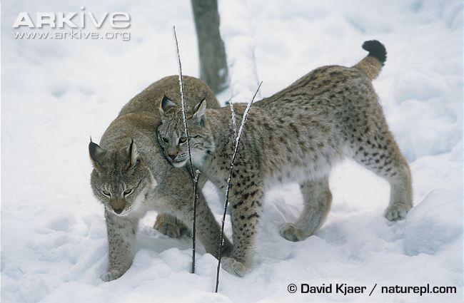 Eurasian lynx pair interacting by David Kjaer