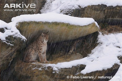 Eurasian lynx sheltering from snow under rock ledge by Fabio Liverani
