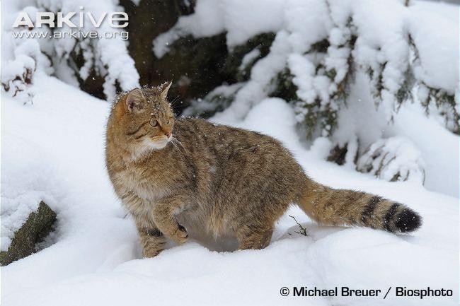European Wildcat (Felis silvestris silvestris)