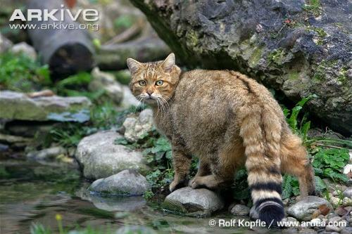European wildcat (Felis silvestris)