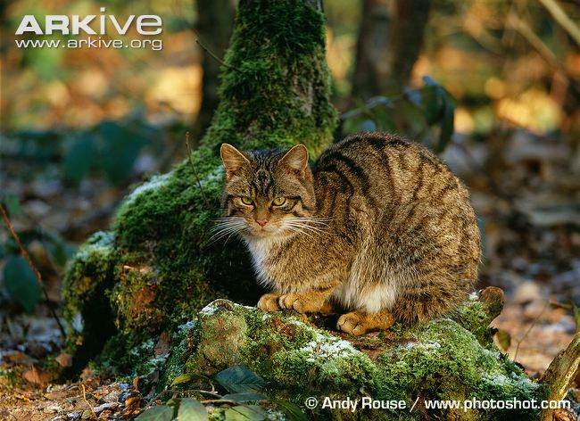Scottish wildcat (Felis silvestris silvestris)
