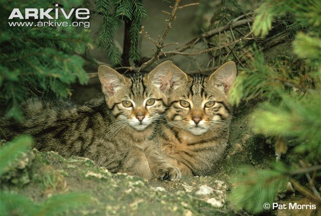 Scottish / European wildcat (Felis silvestris silvestris)