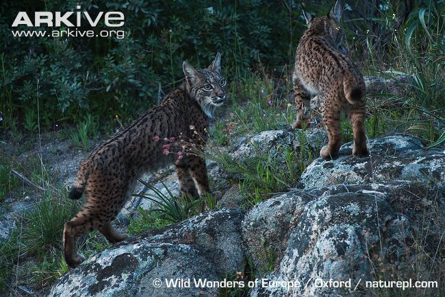 Female Iberian lynx with juvenile climbing rock