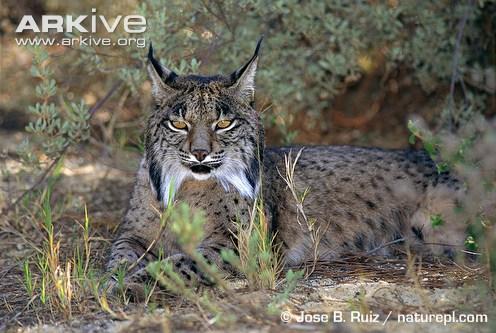 Iberian lynx at rest by Jose B Ruiz