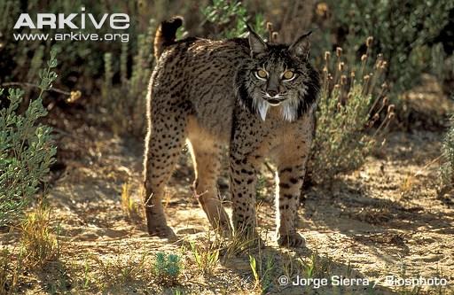 Iberian lynx threat display by Jorge Sierra