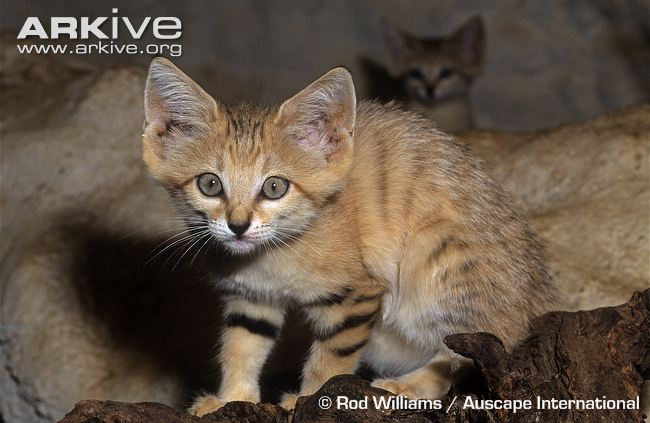 Juvenile Sand cat © Rod Williams / Auscape International