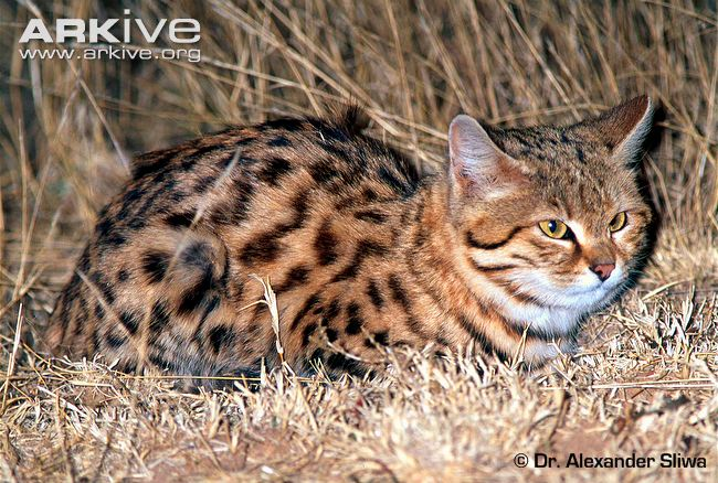 Male Black footed Cat (Felis nigripes) © Dr Alexander Sliwa