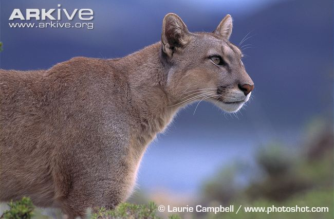 Side view of a Patagonian puma