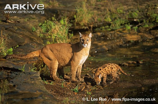 Puma / Cougar / Mountain Lion with kitten drinking at rivers edge